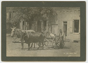 Image for No. 50, Ox & Mule Team