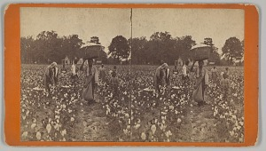 Image for Stereograph of people picking cotton in a field
