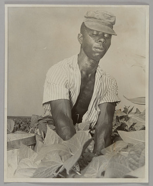 Image for Photographic print of a migrant worker, Stan Dlancey, in a bean field