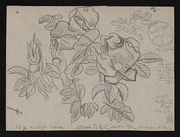 thumbnail image for Sketch of roses