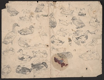 thumbnail image for Enumerated sketches of ducks