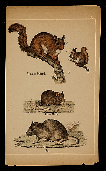 thumbnail image for Common squirrel; House mouse; Rat