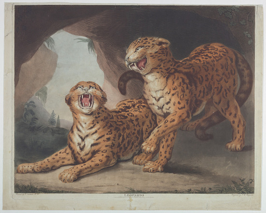 image for Leopards