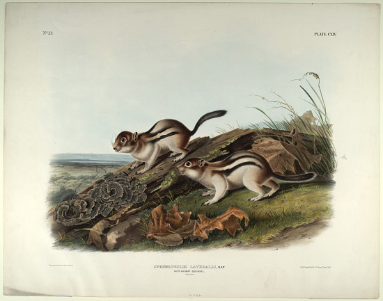 image for Spermophilus Lateralis, Say