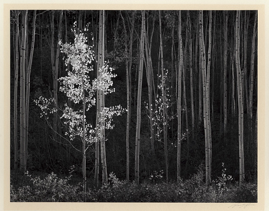 image for Aspens, Northern New Mexico