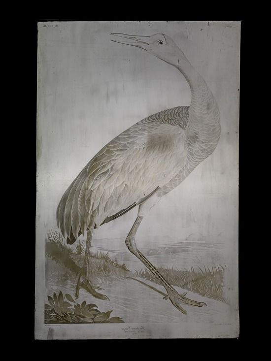 image for Hooping Crane, Grus Americana (Young)