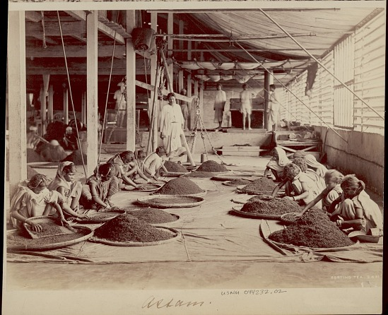 image for Assamese women sorting tea, undated
