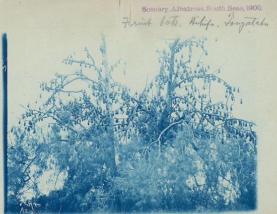 image for Tree Filled with Fruit Bats 1900