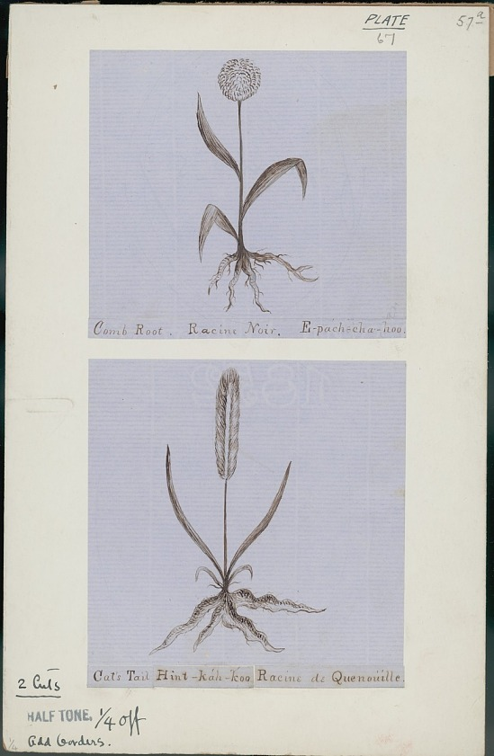 image for Anonymous Assiniboine drawings of medicinal roots, ca. 1853