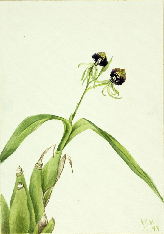 image for Orchid (Epidendrum cochleatum)