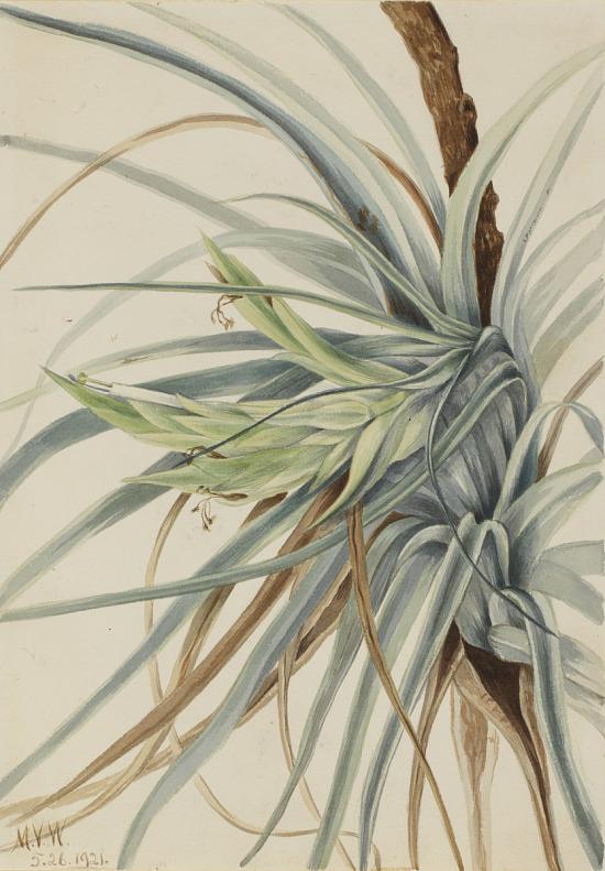 image for Wild Pineapple (Tillandsia fasciculata)