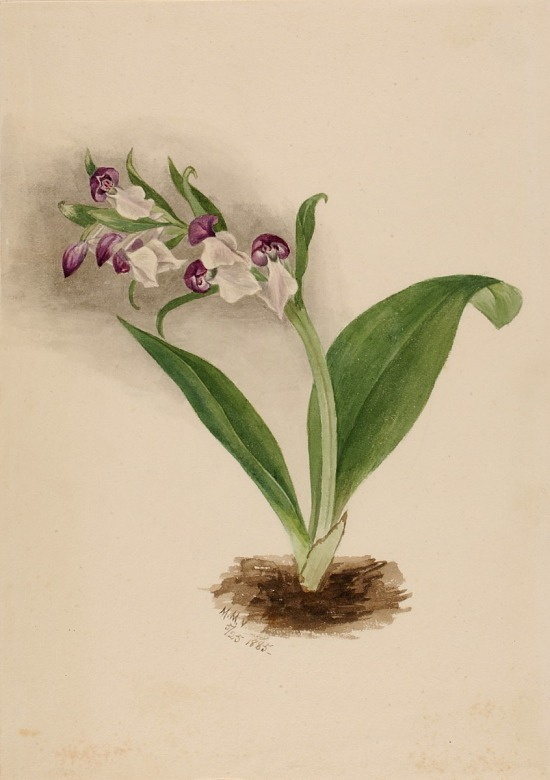 image for Showy Orchids (Orchis spectabilis)