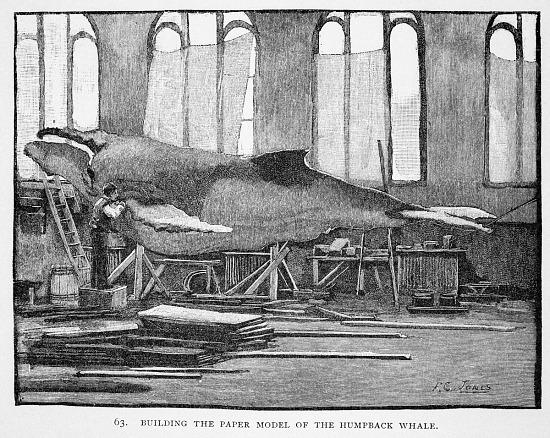 image for Engraving of Humpback Whale Model