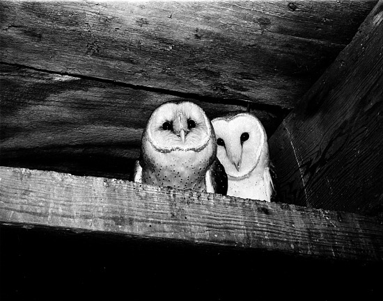 image for Owls in the Castle Tower