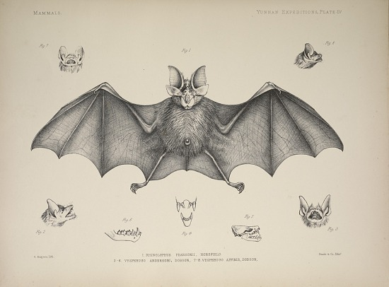 image for Rhinolophus Pearsonii from Anatomical and zoological researches.