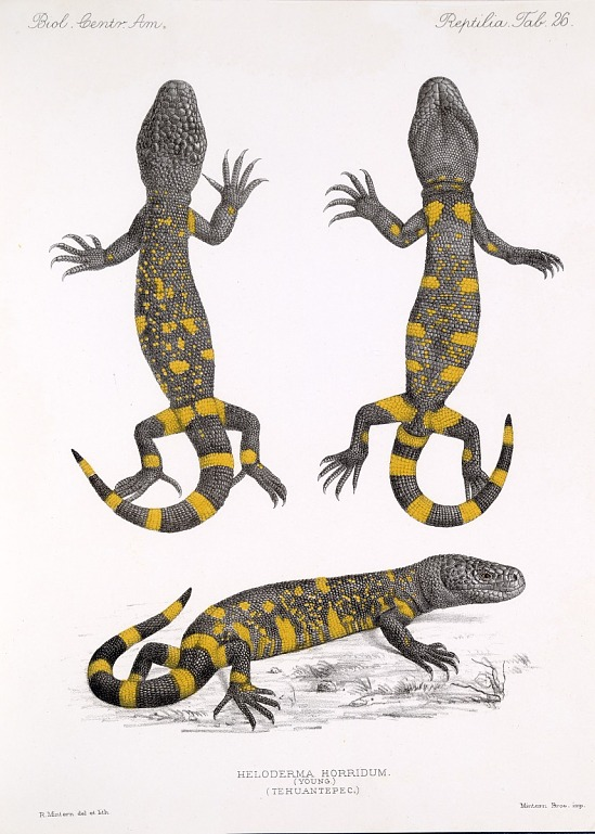 image for Heloderma Horridum from Biologia Centrali-Americana.
