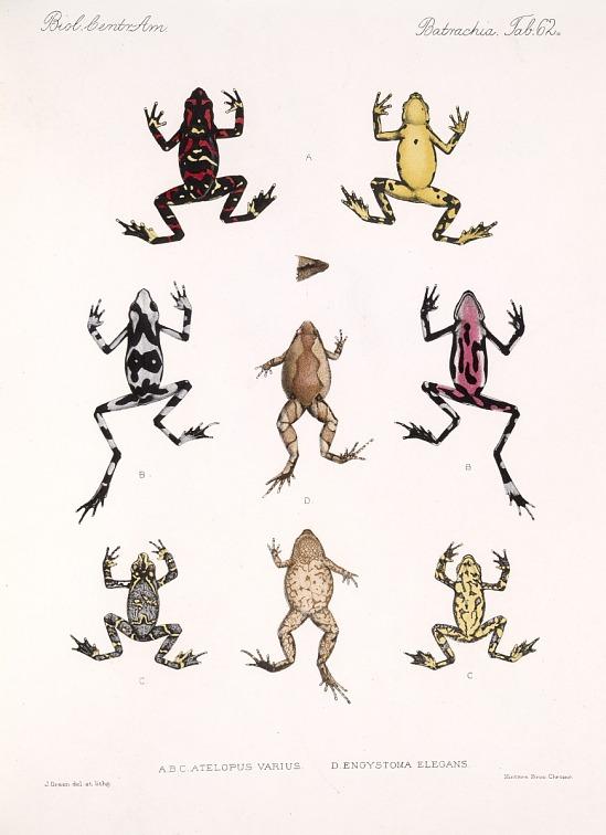 image for Frogs from Biologia Centrali-Americana, Reptilia and Batrachia.