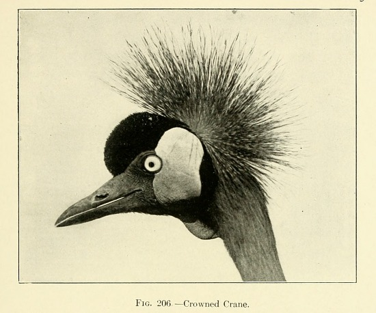 image for Crowned Crane from The bird; its form and function.