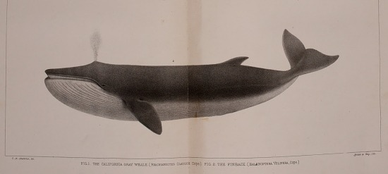 image for The California Gray Whale (Rhachianectes glaucus) from The marine mammals of the north-western coast of North America, described and illustrated; together with an account of the American whale-fishery.