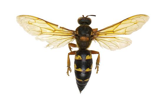 Eastern Cicada Killer Wasp