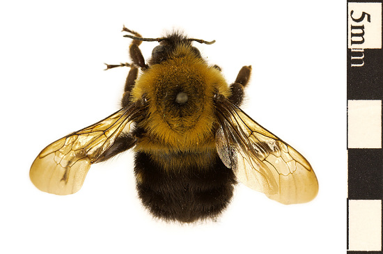 Two-spotted Bumblebee