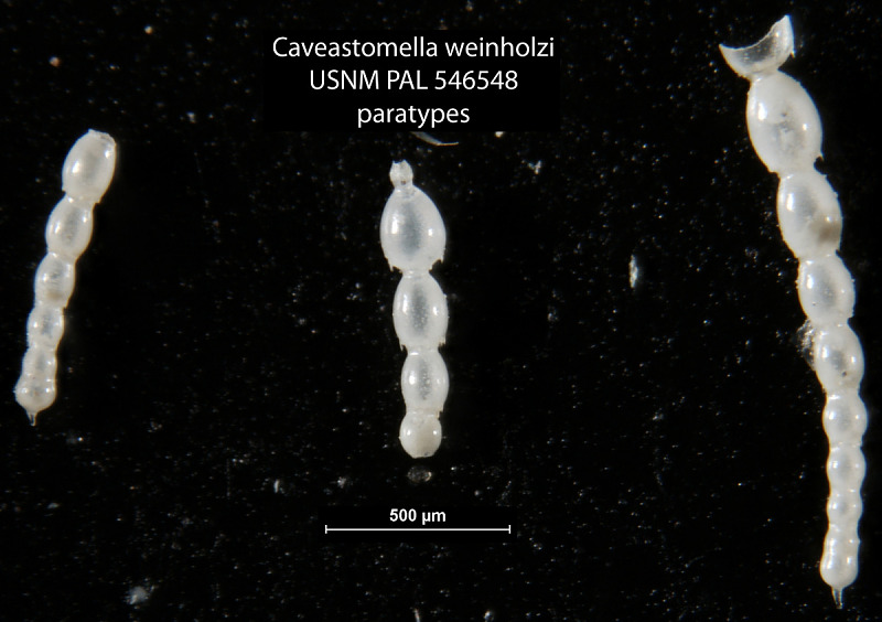 Caveastomella Weinholzi Hayward Kawagata 2012 Smithsonian Institution But now i'am looking for black pearls, but this map doesnt have any seas. caveastomella weinholzi hayward kawagata 2012 smithsonian institution