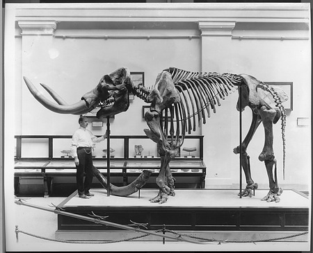American Mastodon Skeleton, Paleontology Exhibit, NHB