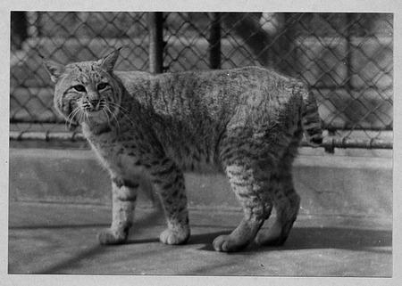 Bailey's Bobcat, National Zoo