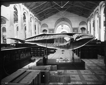 Whale Cast in South Hall of United States National Museum