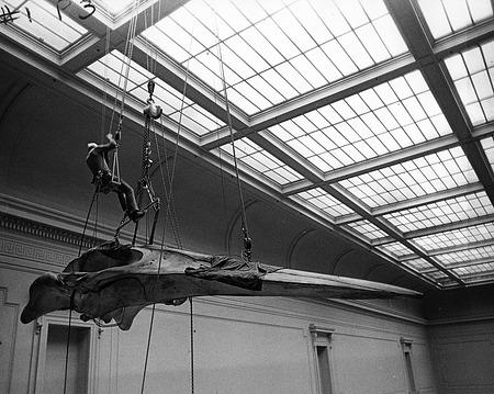 Rigging whale skull in Evolution Hall