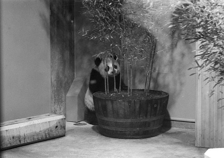 Giant Panda at National Zoo, 1972, Smithsonian Institution Archives, SIA Acc. 11-009 [72-4675-19].