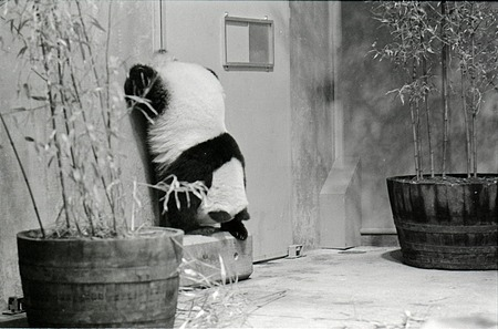 Giant Panda at National Zoo, 1972, Smithsonian Institution Archives, SIA Acc. 11-009 [72-4765-14].
