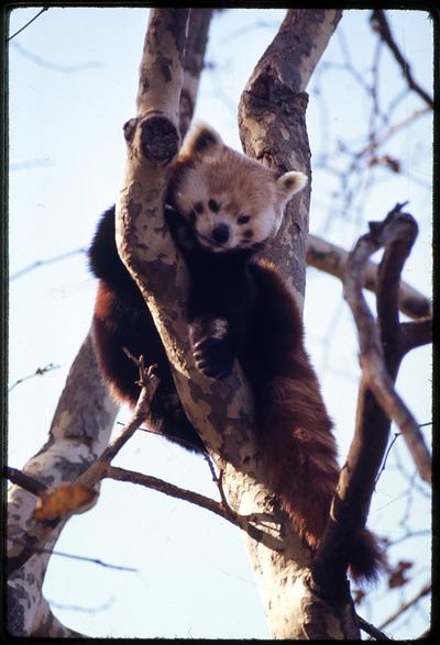 Red Panda, or Lesser Panda, at National Zoological Park
