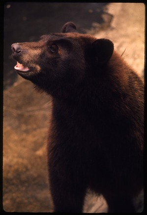 "American Black Bear ""Little Smokey"" at National Zoological Park"