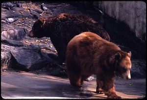 "American Black Bears ""Goldie"" and ""Smokey"" at National Zoological Park"