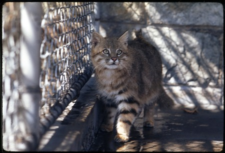 Pampas Cat at National Zoological Park