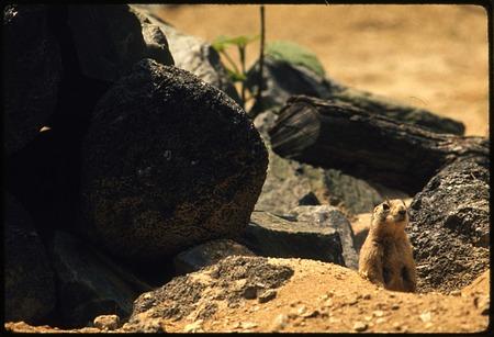 Utah Prairie Dog at National Zoological Park