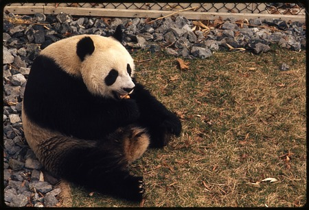 Giant Panda, Hsing-Hsing or Ling-Ling, at National Zoological Park