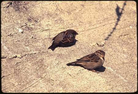 House Sparrows at National Zoological Park