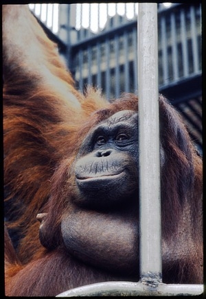 "Adult Female Orangutan ""Jennie"" at National Zoological Park"
