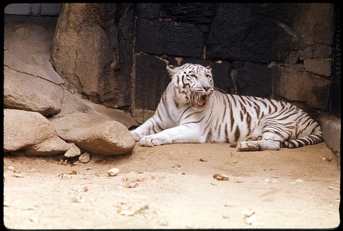 "Female White Tiger (tigress) ""Mohini"" at National Zoological Park"