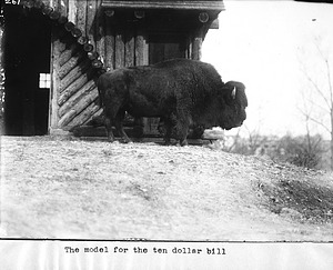 Buffalo at National Zoological Park, 1895