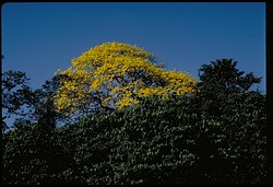 Flowering Trees, Panama, STRI, 1986, Smithsonian Institution Archives, SIA Acc. 11-009 [88-7062].