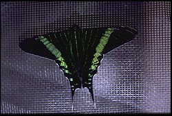 Moths, Panama, STRI, 1986, Smithsonian Institution Archives, SIA Acc. 11-009 [88-7139].