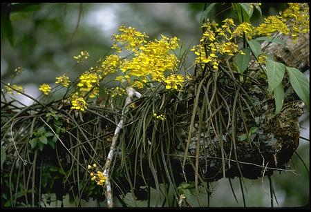 Flowering Orchids, Panama, STRI