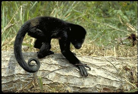 Baby Black Howler Monkey, Panama, STRI