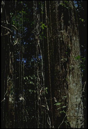 Trees, Panama, STRI, 1987, Smithsonian Institution Archives, SIA Acc. 11-009 [89-16312].