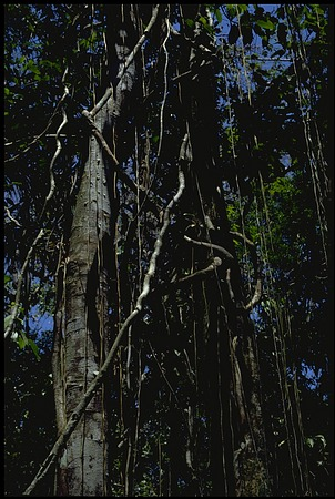 Trees, Panama, STRI, 1987, Smithsonian Institution Archives, SIA Acc. 11-009 [89-16313].