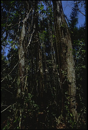 Trees, Panama, STRI, 1987, Smithsonian Institution Archives, SIA Acc. 11-009 [89-16316].