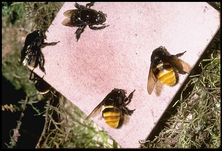 Bee Study with Entomologist David W. Roubik, Panama, STRI